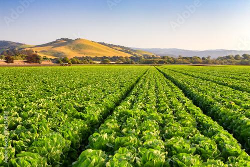 Cuadros en Lienzo Salinas Valley Lettuce Field