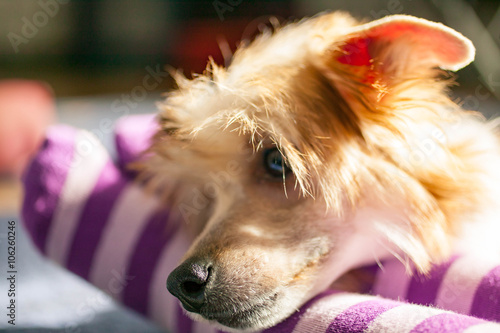 Fototapety, obrazy: The little puppy of the Chinese crested dog lies on a lap girls