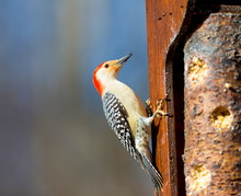 The Red-bellied Woodpecker Is ...