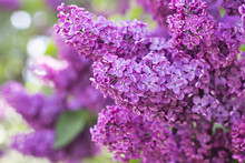 Green Branch With Spring Lilac...