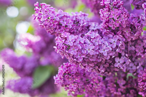 Photo  Green branch with spring lilac flowers