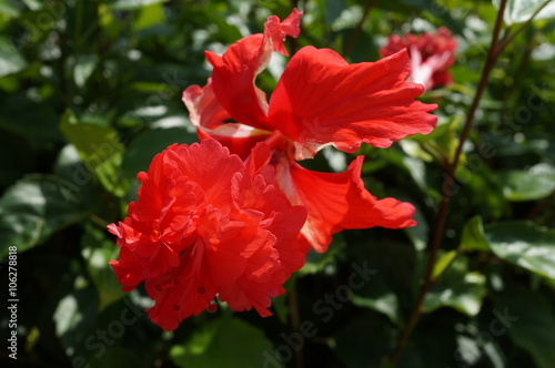 Double Bloom Red Hibiscus Flower Buy This Stock Photo And Explore
