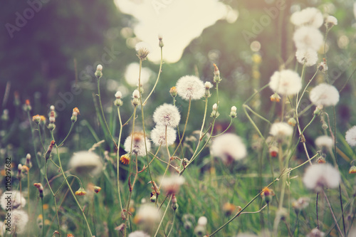 Photo Dandelion flowers