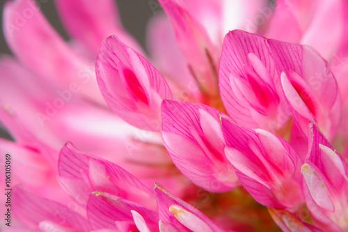 Makro Kwiat Czerwonej Koniczyny