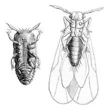 Phylloxera Vastatrix Wingless,...