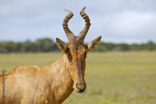 Photo Stands Antelope Red hartebeest running in dust - Alcelaphus caama - Kalahari des