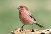Male House Finch (Carpodacus M...