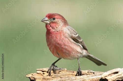 Sticker - Male House Finch (Carpodacus mexicanus)