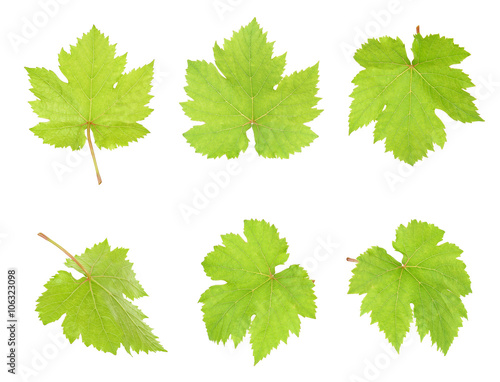 Grape leaf isolated on the white background Fototapete