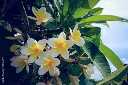 Keuken foto achterwand Frangipani white frangipani tropical flower, plumeria flower fresh blooming