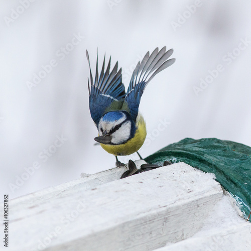 Foto op Aluminium Schilderingen wings of blue tit