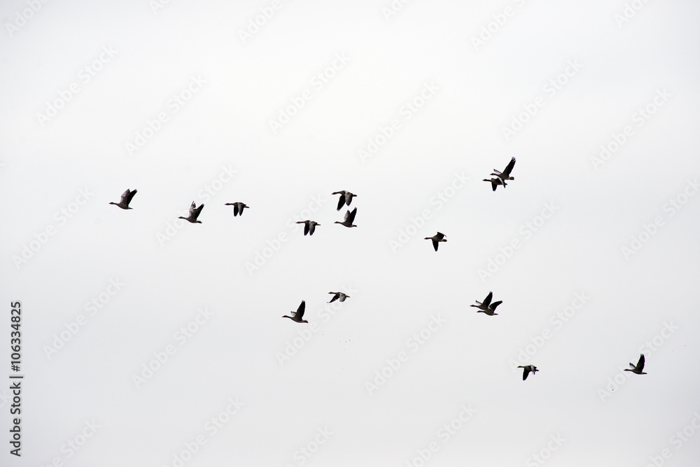 Fototapety, obrazy: Flock of wild geese
