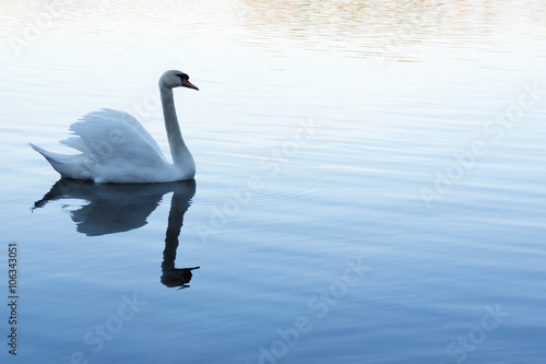 Poster Cygne white swan swimming in lake