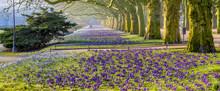 Spring Flowering Crocuses In T...