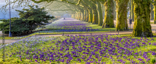 Obraz Spring flowering crocuses in the park