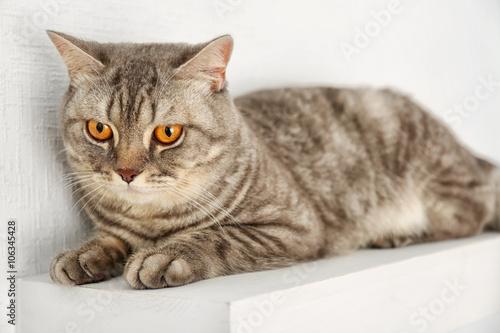 Fototapeta Grey cat isolated on white background obraz na płótnie