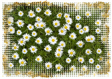 Daisies In A Meadow With Burnt...