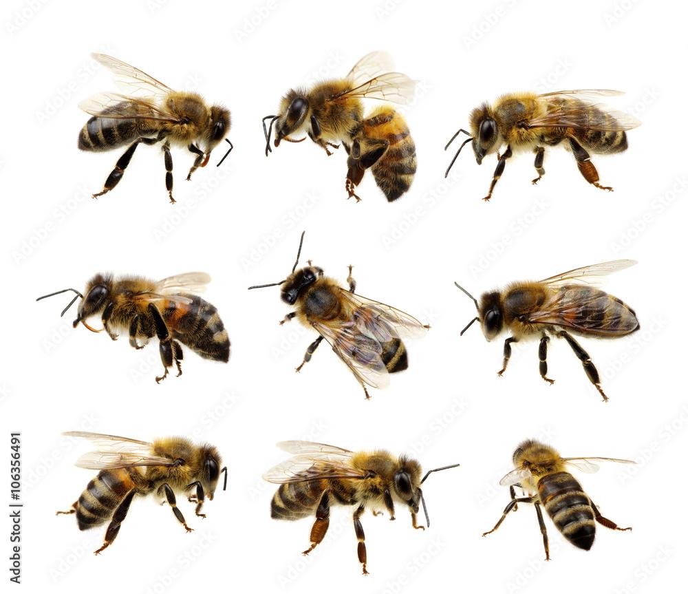 Fotografie, Obraz Set of bee