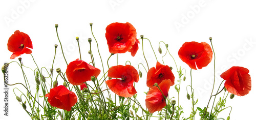 Fotografie, Obraz red poppies on white
