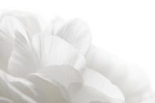 White Petals Closeup