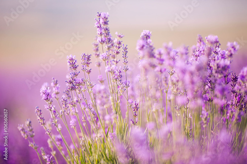 Tuinposter Lavendel Sunset over a violet lavender field in Provence