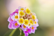 Lantana Flower Close Up
