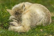 Corsac Fox Lying Down