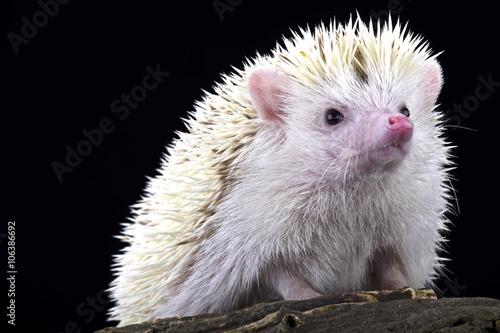 Photo  Pygmy hedgehog (Atelerix albiventris)