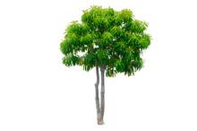 Isolated Cerbera Odollam Tree