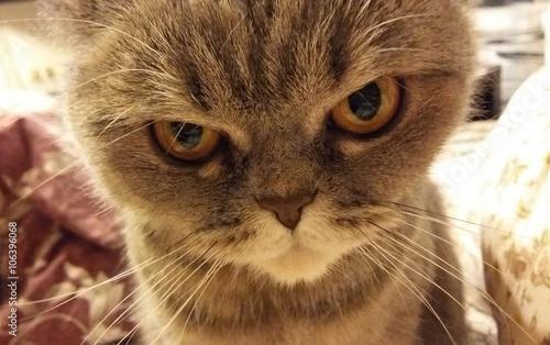 Foto op Aluminium Kat Funny angry cat
