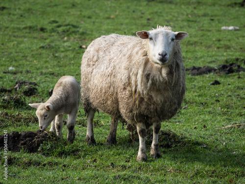 Poster Sheep Schafe im Münsterland