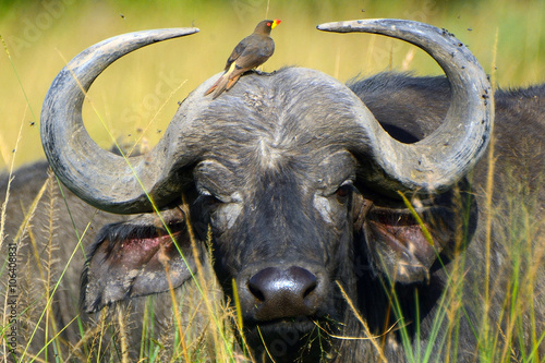 African buffalo and a red-billed oxpecker, Maasai Mara Game Reserve, Kenya