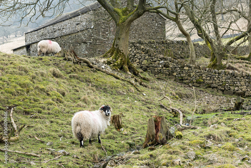 Sheep Grazing Beside A Traditional Stone Barn Near Kettlewell Yorkshire Dales National Park