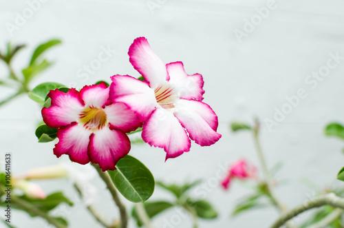 Papiers peints Azalea Close-up Impala Lily or desert rose or Mock Azalea