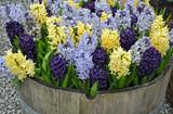 Colorful spring hyacinth