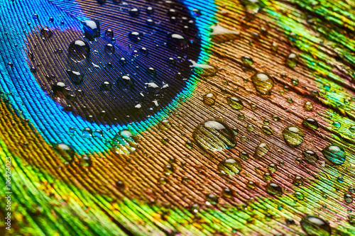 Foto op Plexiglas Pauw Peacock feather with drops of water