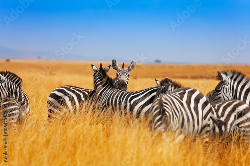 Fotografie, Obraz  Zebra herd on the grasslands of Kenya, Africa