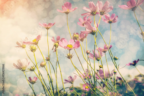 Foto  Cosmos flower and sunlight with vintage tone.