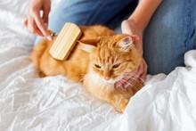 Woman Combs A Dozing Cat's Fur. Ginger Cat's Head Lies On Woman Hand.