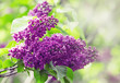 Blooming lilacs in the rain, natural background, blurred image,