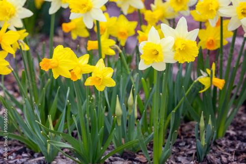 Carta da parati Yellow narcissus spring blossom