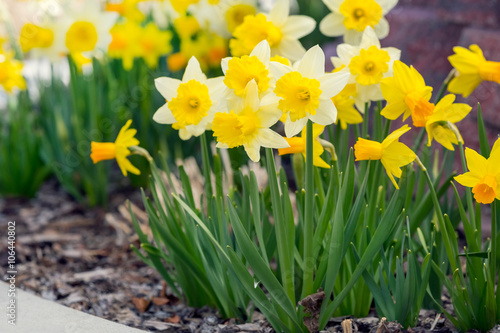 Papiers peints Narcisse Yellow narcissus spring blossom