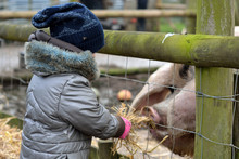 Young Child Feeding Straw To Gloucester Old Spot Sow. An Infant Girl Offers Food To A Large Old English Rare Breed Pig, On A Farm In Somerset, UK