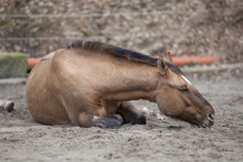 Horse With Colic Lie Down And Sleep Outside