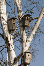 Three Birdhouse On A Birch Tree With Birds On Blue Sky Background