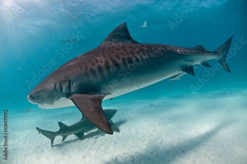 Keuken foto achterwand Turkoois A tiger shark swimming up close with clear markings