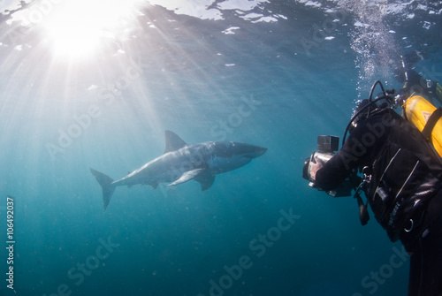 Plakat Wielki biały rekin pod wodą, Gansbaai, Western Cape, RPA