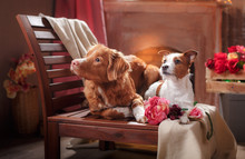 Dogs Jack Russell Terrier And Dog Nova Scotia Duck Tolling Retriever  Portrait Dog Lying On A Chair In The Studio