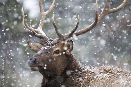 Obraz na plátně Portrait of a large bull elk (Cervus canadensis) in a snowstorm.