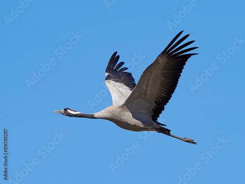 Photo  Common crane (Grus grus)